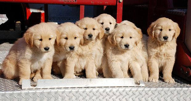 The True Cost Of A Golden Retriever Golden Retriever Friends